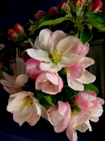 Cover photograph: ''Apple Blossom'' by Myrthe Krook